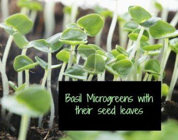 Grow Microgreens | PreparednessMama