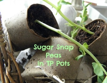 Sugar Snap Peas in toilet paper seed pots,  ready for planting on my deck| PreparednessMama