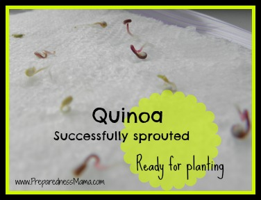 Grow quinoa - successfully sprouted | PreparednessMama