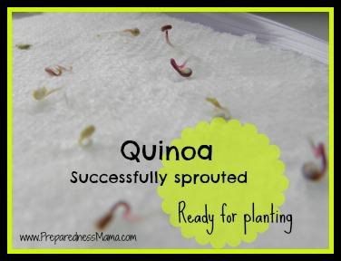 Grow quinoa - successfully sprouted | PreparednessMama