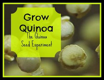 See if you can grow quinoa where you live | PreparednessMama