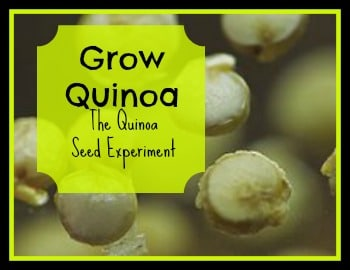 See if you can grow quinoa where you live | PreparednessMama