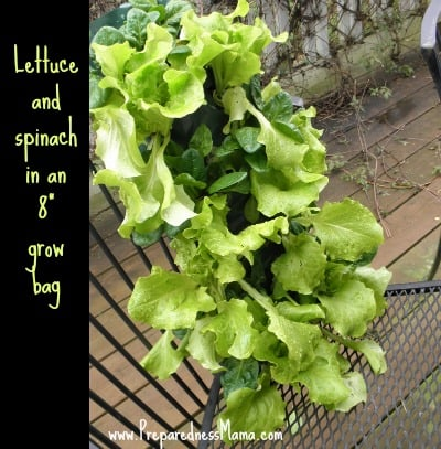 "Lettuce in an 8"" plastic hanging planter - planting depth revealed 