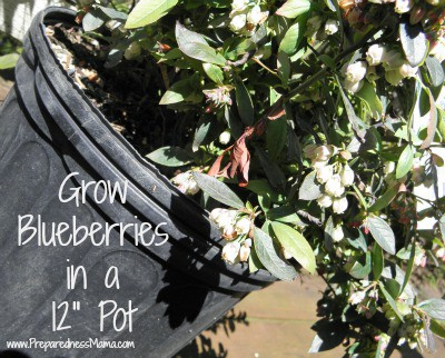 Grow Blueberries in a 12 inch container | PreparednessMama