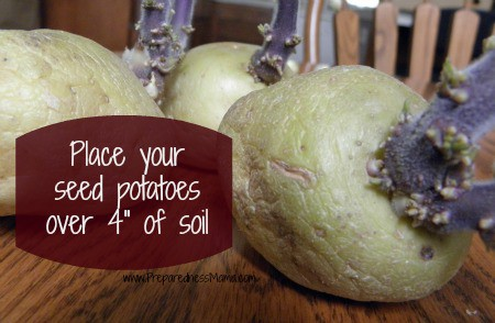 Seed potatoes to plant in a laundry basket