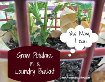 grow potatoes in a laundry basket
