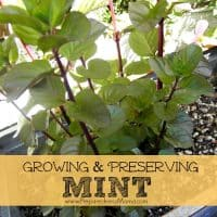 Tips for growing and preserving mint. Orange Mint - go to the nursery and ruffle some leaves. Find a mint that you love! | PreparednessMama