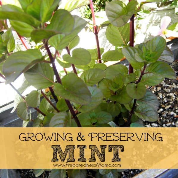 Growing and Preserving Versatile Mint