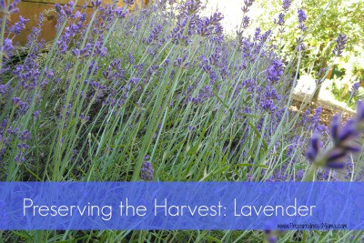 Preserving the Harvest - Lavender | PreparednessMama