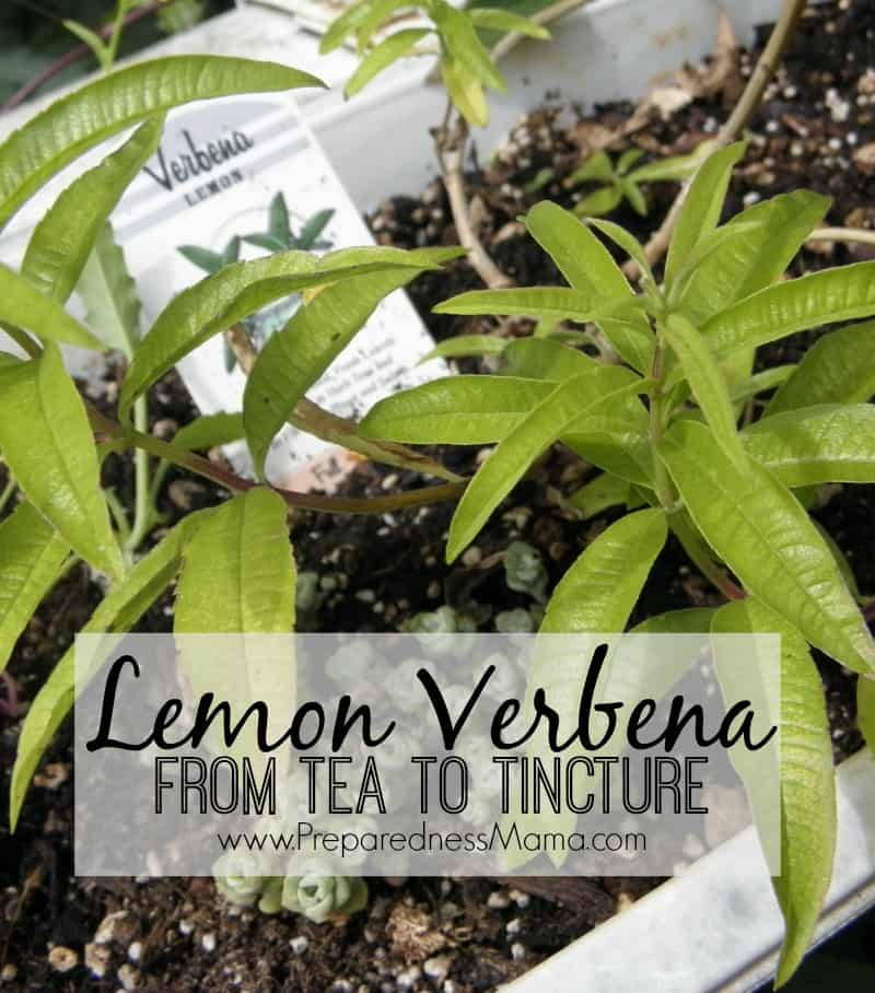 growing  lemon verbena  tea  tincture