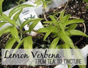 Lemon Verbena - From tea to Tincture | PreparednessMama
