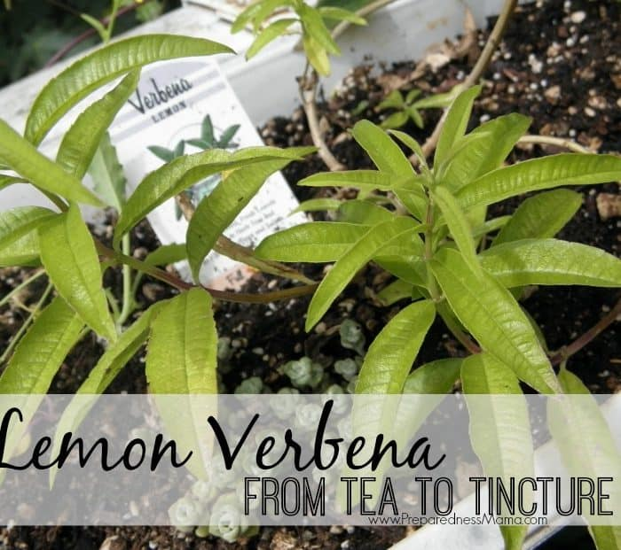 Growing & Using Lemon Verbena