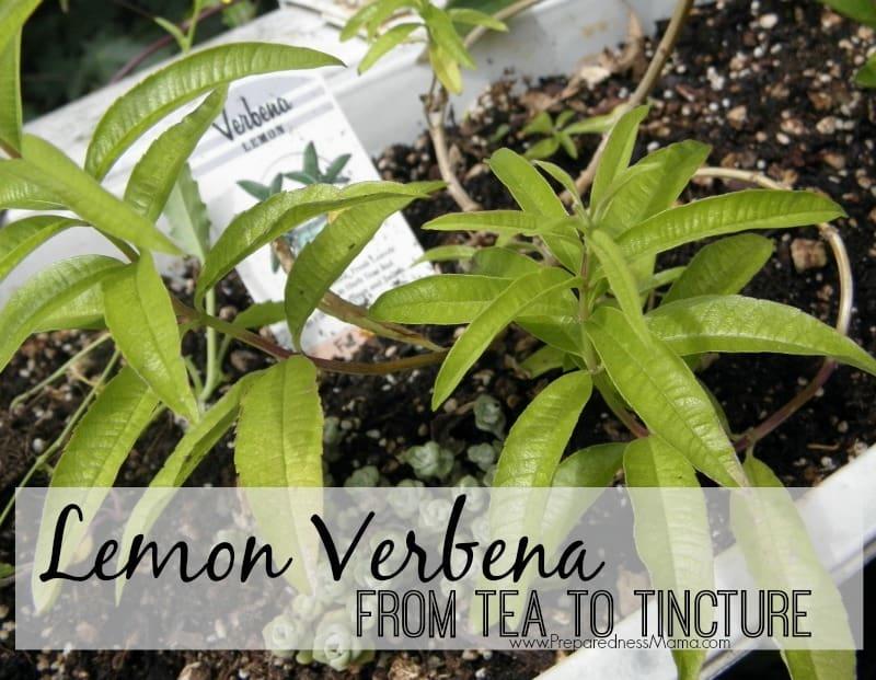 Lemon Verbena - From tea to Tincture | PreparednessMama