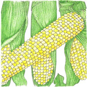 Organic Heirloom Corn at Seeds for Generations