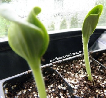 Zucchini starts for growing three sisters
