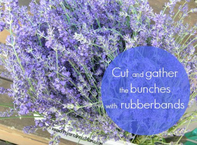 Cut and gather lavender bunches with rubber bands | PreparednessMama