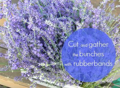 how to harvest lavender