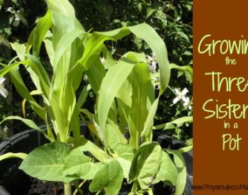 Growing three sisters in a pot | PreparednessMama