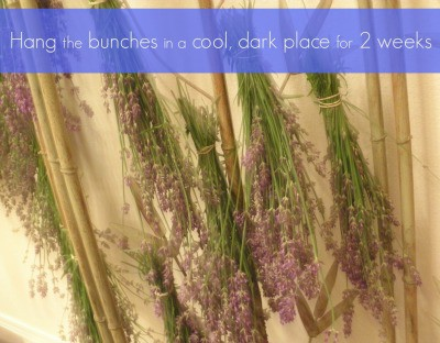 Hang the bunches of lavender for about 2 weeks | PreparednessMama