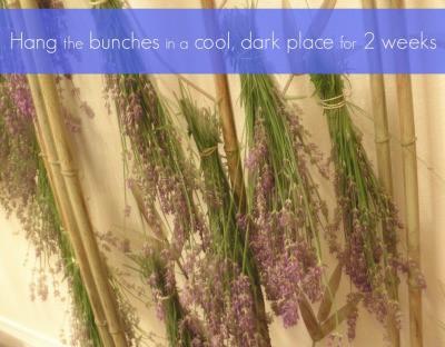 Preserving Your Harvest - Harvesting Lavender