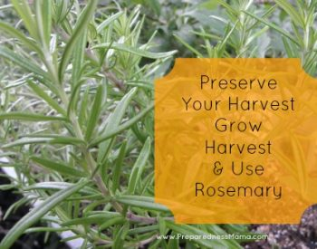 How to grow, use and harvest rosemary | PreparednessMama