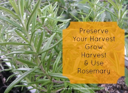 How to Grow, Harvest & Use Rosemary