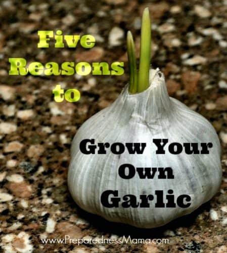 Five Reasons to Grow Garlic | PreparednessMama