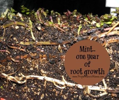 Refresh your mint patch each year | PreparednessMama