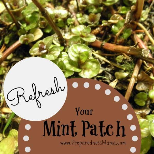 Refresh your mint patch | PreparednessMama