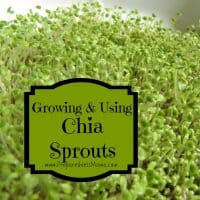 growing and using chia sprouts | PreparednessMama