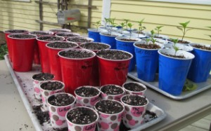 Seed starting in paper cups from Henbogle