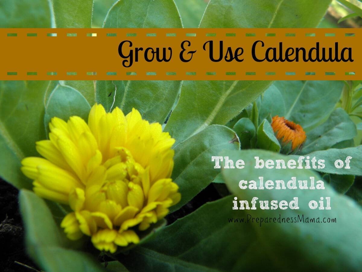 There are benefits to using calendula oil in your herbal preparations | PreparednessMama