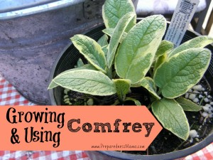 Growing and using comfrey | PreparednessMama