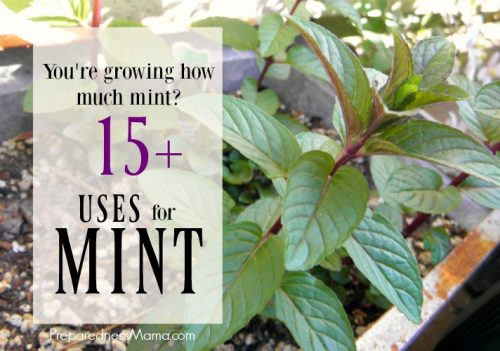 Mint is such a versatile herb, no garden should be without it. What are other uses for mint besides tea? You will be surprised how much it really can do | PreparednessMama