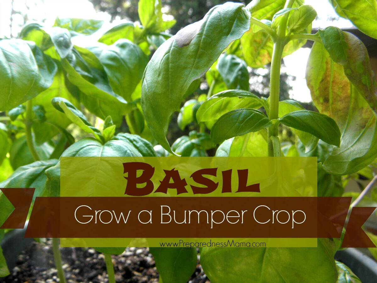 grow a bumper crop of basil in containers preparednessmama. Black Bedroom Furniture Sets. Home Design Ideas