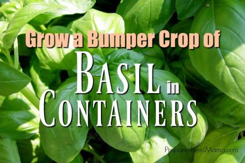 Basil is one of the most popular herbs to grow for culinary creations and you can easily grow basil in containers. Find out how to get a bumper crop for pesto and cooking | PreparednessMama