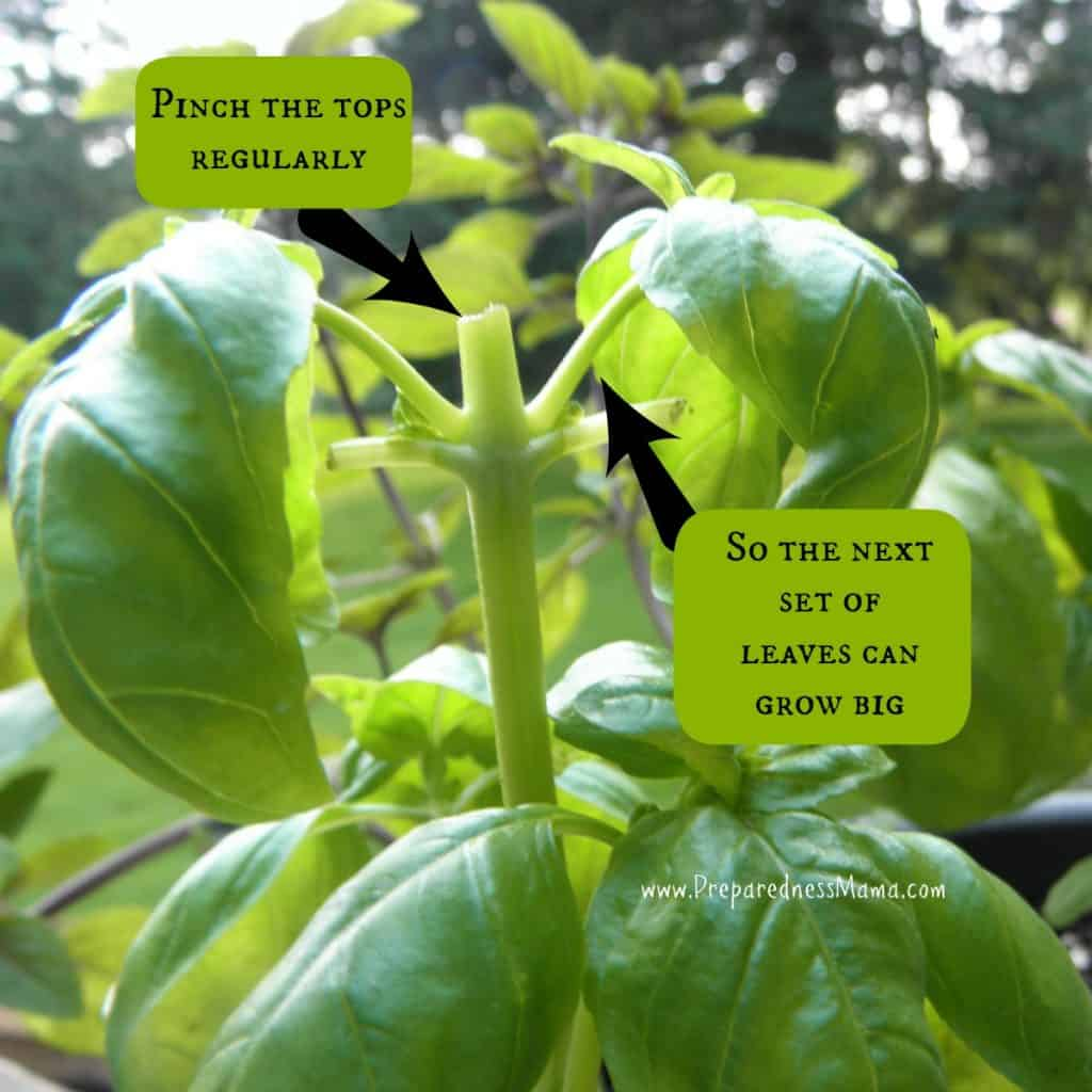 The key to growing basil is pinching (then of course eating it) | PreparednessMama