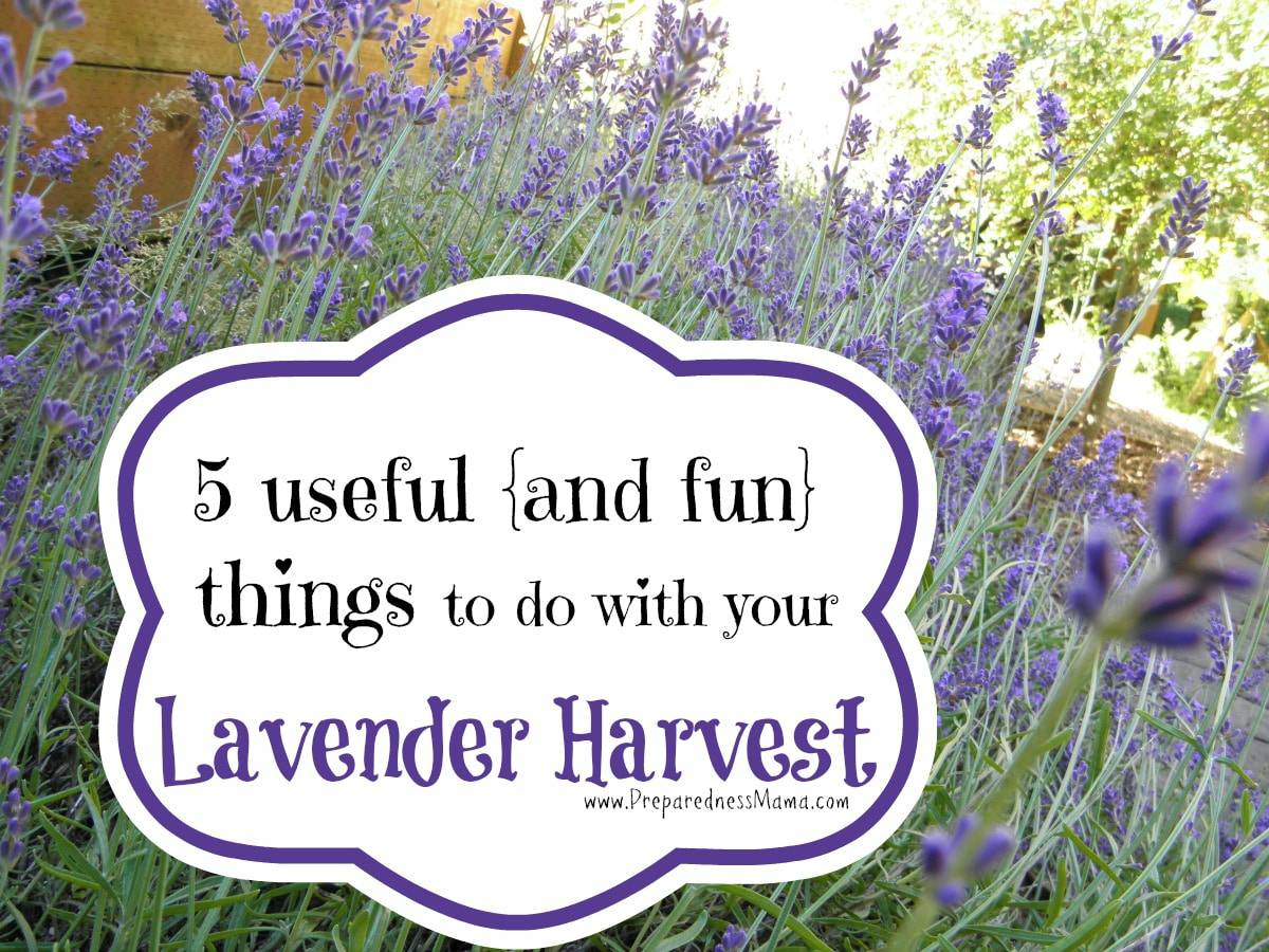 5 useful and fun things to do with your lavender harvest for Can you get purple roses