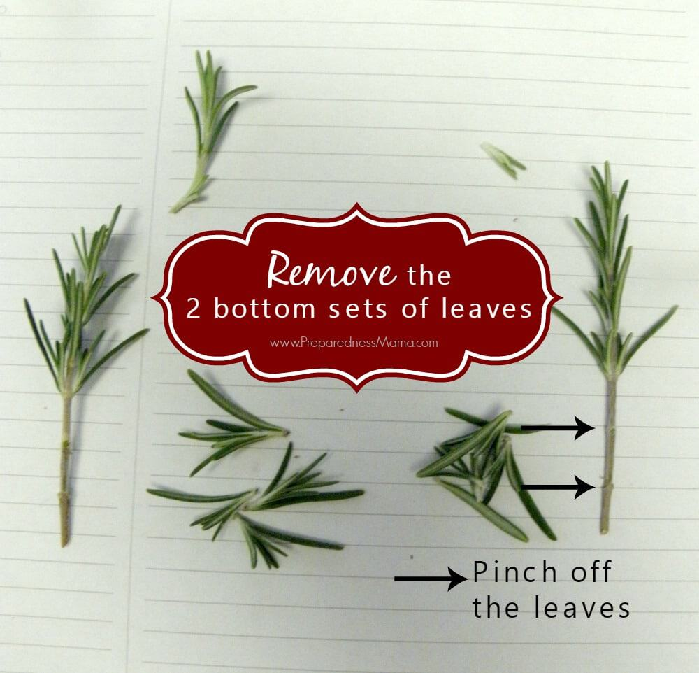 Pinch off the lower set of leaves | PreparednessMama