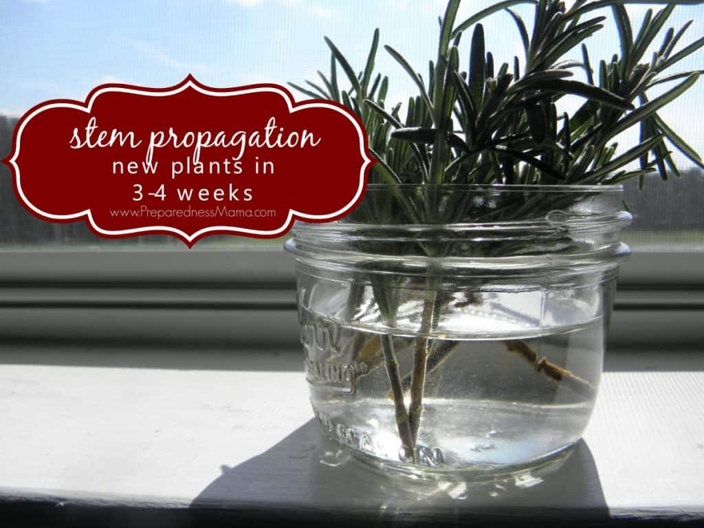 Stem Propagation: New plants in 3 to 4 weeks | PreparednessMama