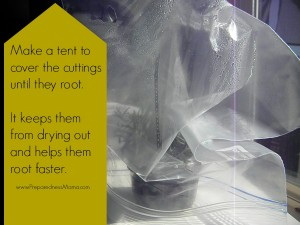 Cover the cuttings with a plastic bag until they root | PresarednessMama