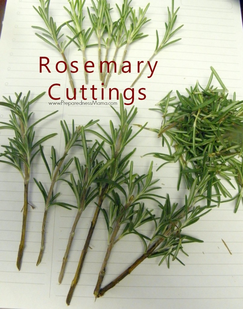 How to Propagate Herbs from Cuttings | PreparednessMama