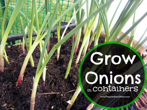 Grow onions in containers and use the cut and come again method. You'll have onions greens all season long | PreparednessMama