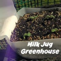 Starting seeds in recycled containers: Milk Jug Greenhouse | PreparednessMama