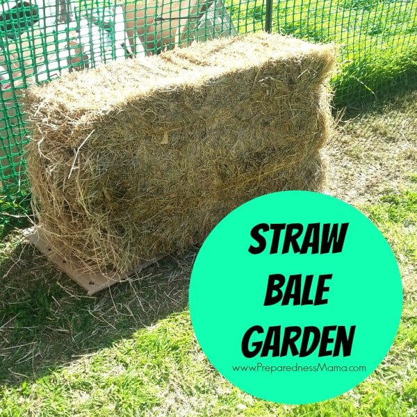 The Straw Bale Garden Experiment is currently under way| PreparednessMama