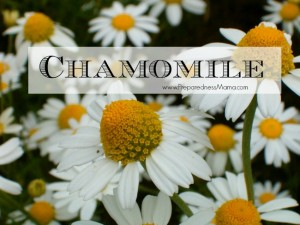 Chamomile is one of the essential herbs to have in your garden | PreparednessMama