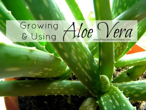 Growing & Using Aloe Vera for burns, skin irritation and muscle aches | PreparednessMama