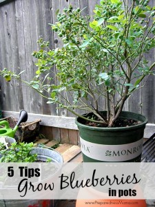 5 Tips to Grow Blueberries in Post | PreparednessMama.com