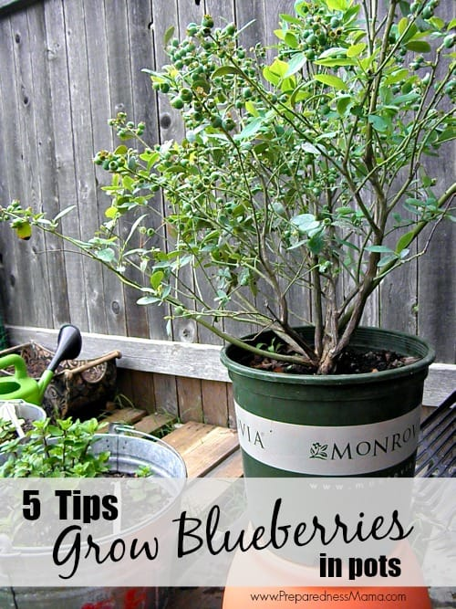 5 Tips To Grow Blueberries In Pots Preparednessmama