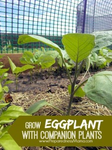 I'm growing eggplant from Mary's Heirloom Seeds Use the companion planting method for a great harvest | PreparednessMama